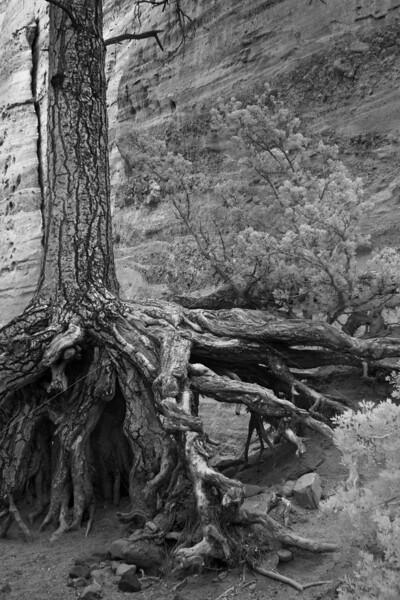 Roots in the air, Tent Rocks National Monument, New Mexico. Photographed June 2011.