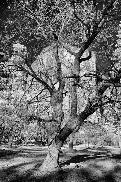 Tree and El Capitan