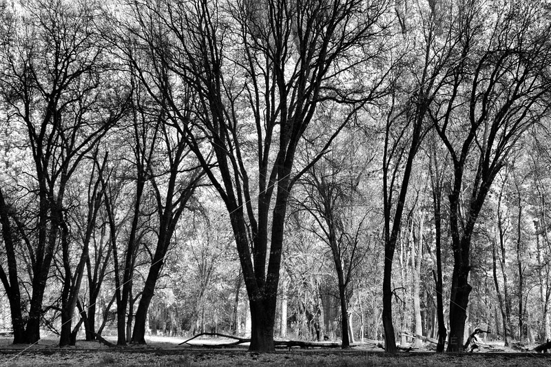 Trees in a Meadow