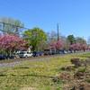 Trackside Magnolias