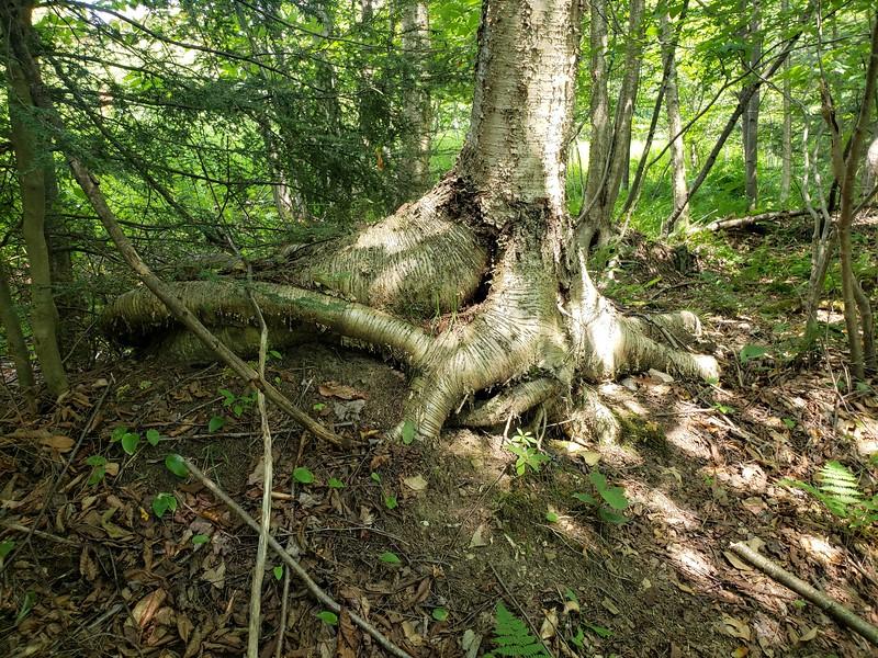 Tree in Adjacent Wetland