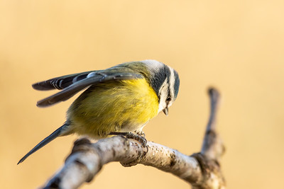 Blue Tit - Ready To Launch