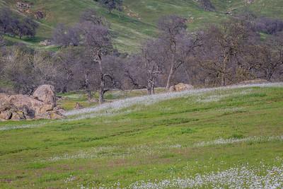 Flowers and Oaks, Sierra Foothills