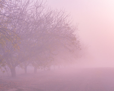 Foggy Almond Orchard