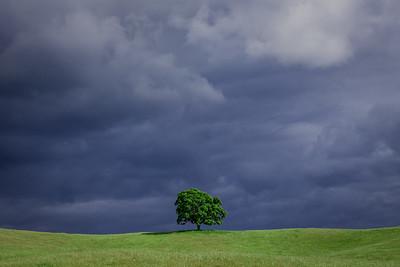 Lone Oak, Sierra Foothills