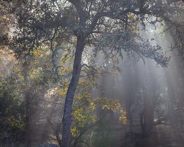 Oak in Fog and Sunlight