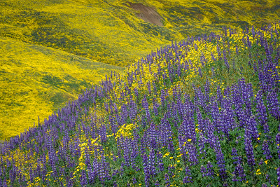 Lupine and Monolopia
