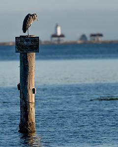 Blue Heron, Dungeness Bay, WA