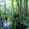 Cypress swamp. First Landing State Park, Virginia Beach, VA.