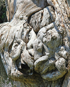 Close-up of Burl Oak. A tree on Taylor Rd, Bagdad, FL.