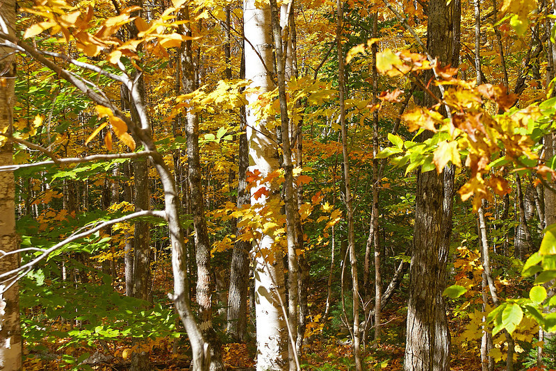 Fall trees.  Kancamagus Highway, White Mountain Nat'l Forest, New Hampshire.