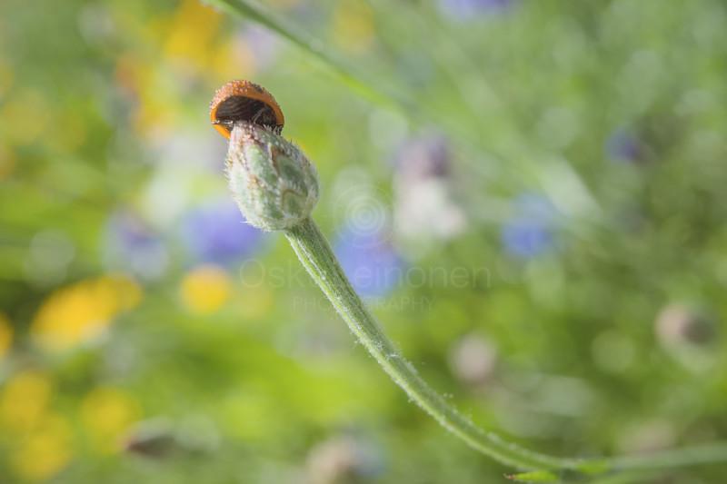 Ladybug II (Behind)