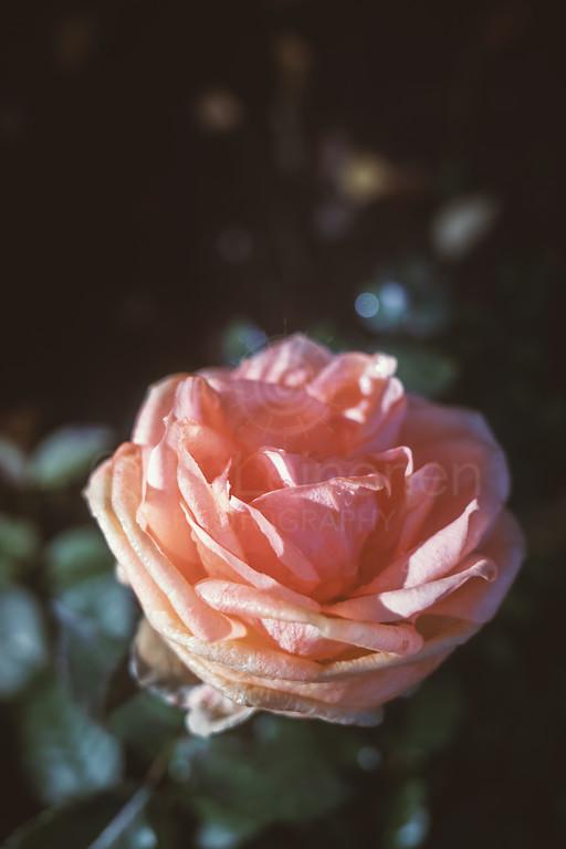 Rose At Night II