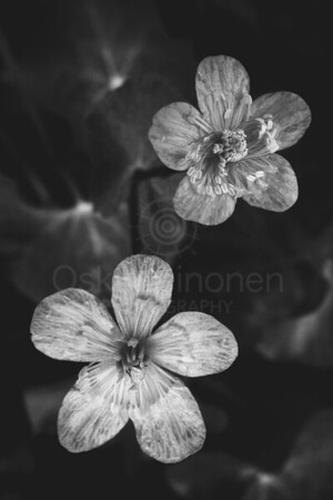 Two Flowers (Black And White)