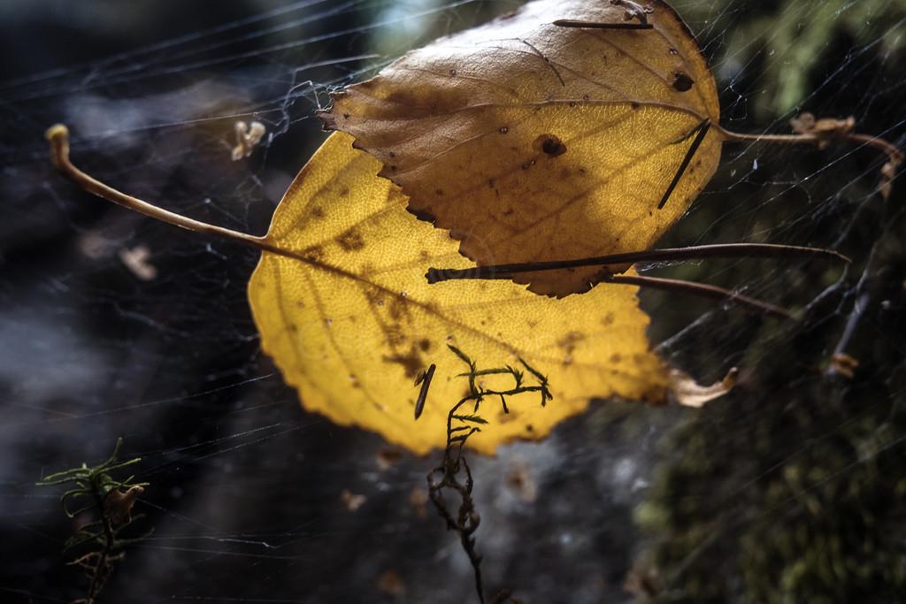 Golden Leaf VI (Fantastic)