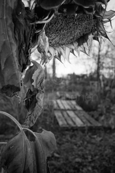 Garden And Sunflower VIII