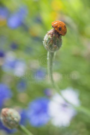 Ladybug V (Bright)