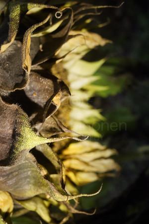 Garden And Sunflower VII