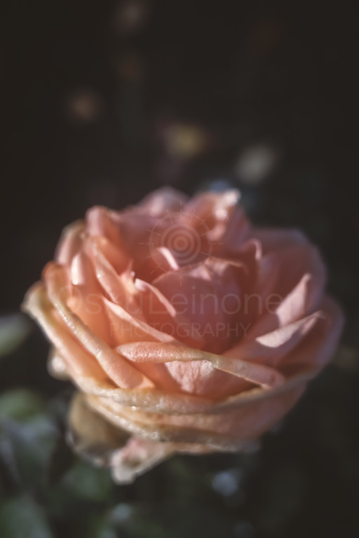 Rose At Night XIII