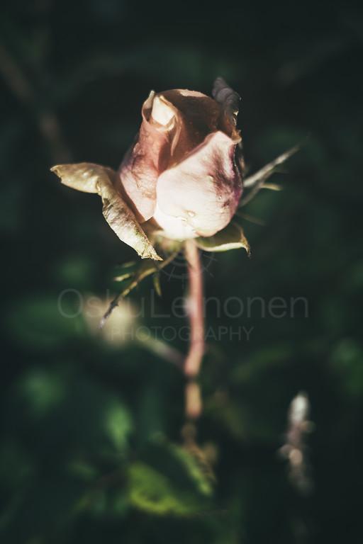 Rose At Night IX