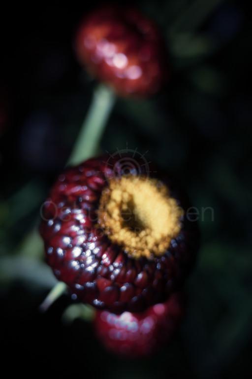 Flowers At Night II (Soft Focus)