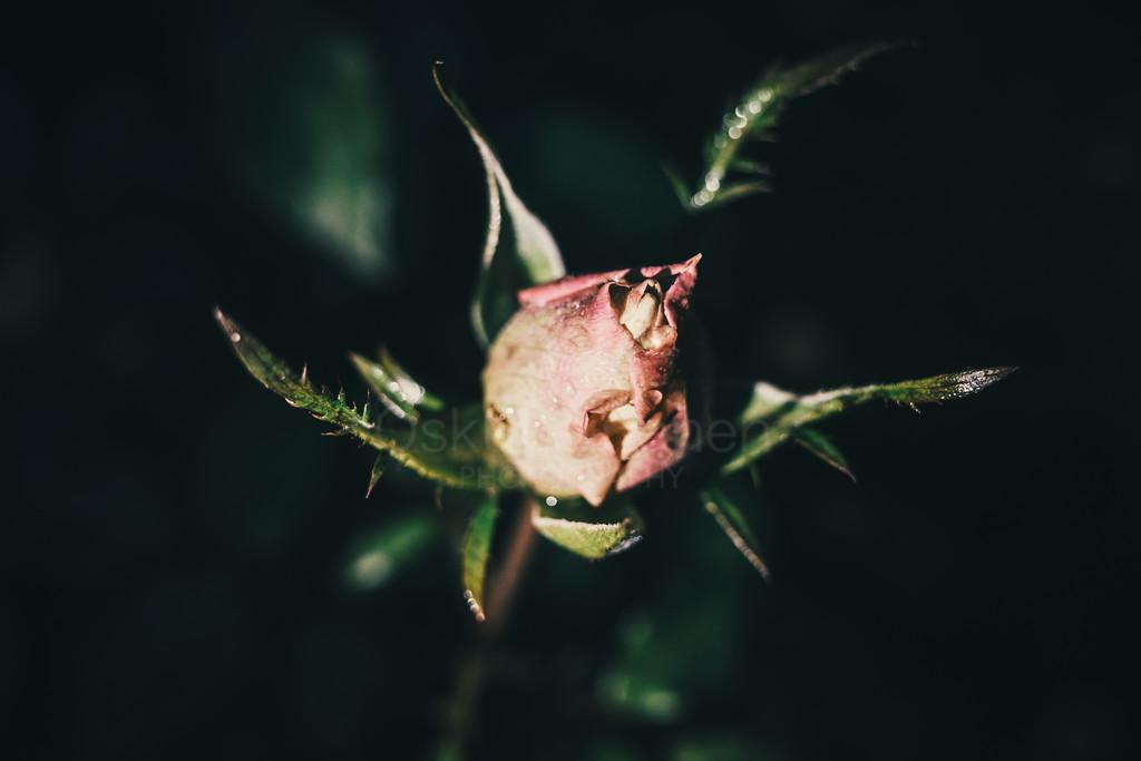Rose At Night VI