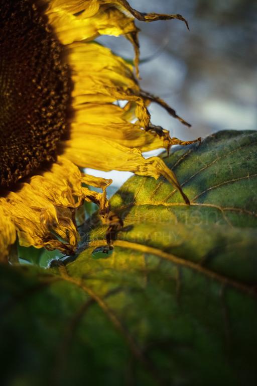 Sunflower At Night VIII