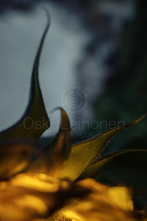 Sunflower At Night III