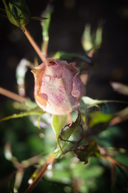 Rose At Night XII