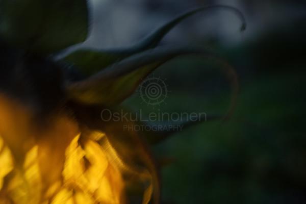 Sunflower At Night V