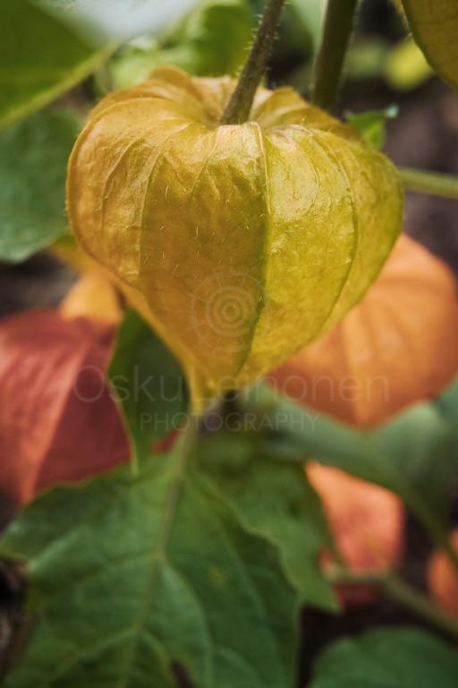 Golden Fruit I (Unforgettable)