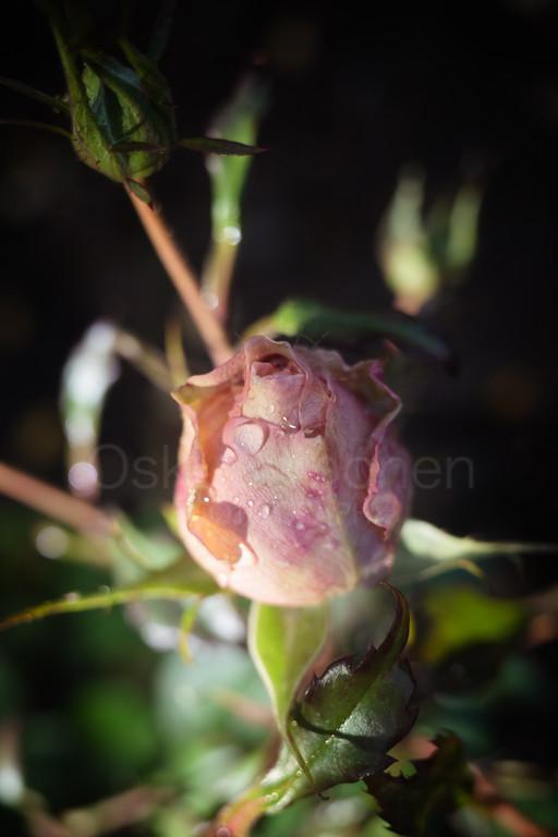 Rose At Night XIV