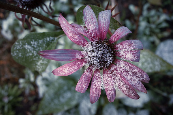 Snow And Flower II