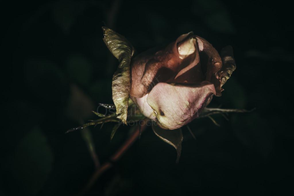 Rose At Night V