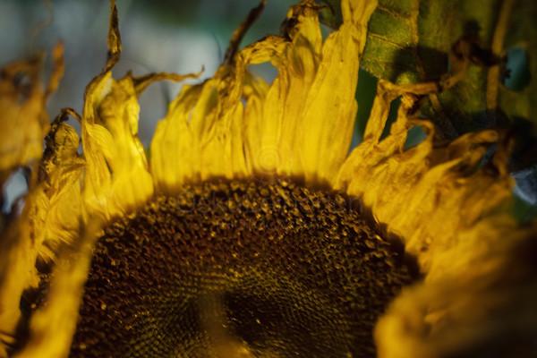 Sunflower At Night VII
