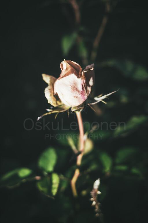 Rose At Night I