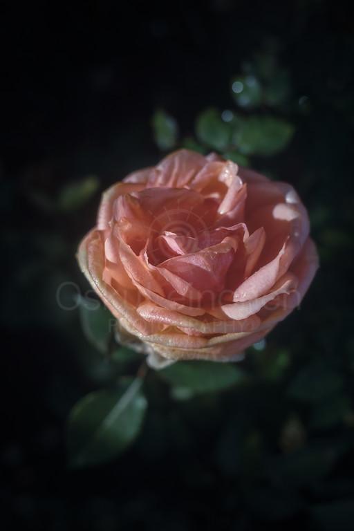 Rose At Night IV