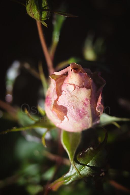 Rose At Night XI