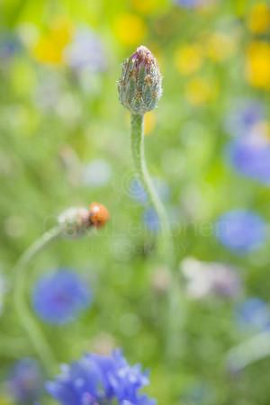 Ladybug I (Up)
