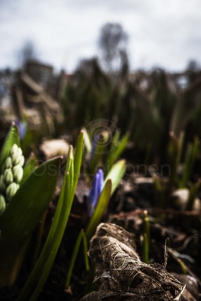 Spring Garden IV (Purple Flower)