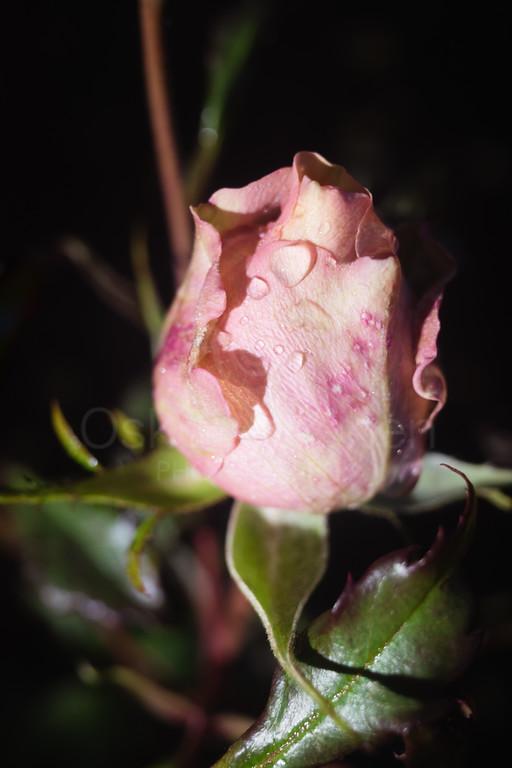 Rose At Night X