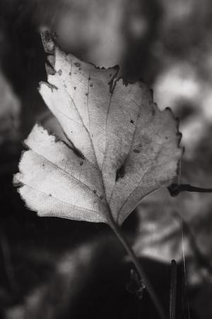 Golden Leaf I (Marvelous)