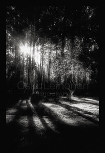 Sun Rays and Trees BW