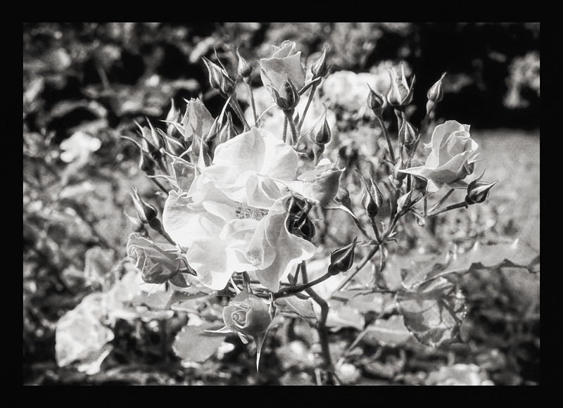 Red Rose (Thin Fragrance) BW