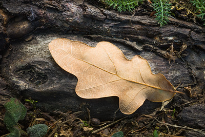 Dry Leaf On The Root IV