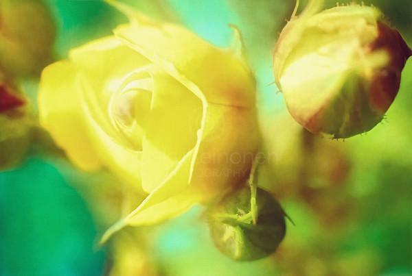 Yellow Rose Bud (Thin Fragrance)