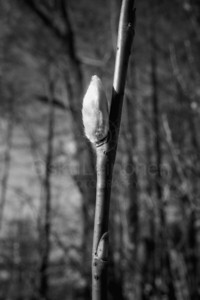 Spring Twig (Willow Tree)