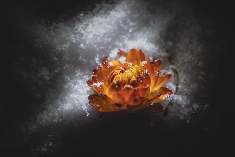 Winter Holds Summer (Orange Flower)