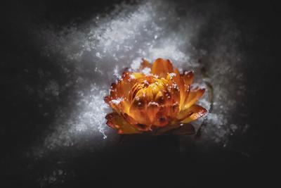 Winter Holds Summer (Orange Flower)