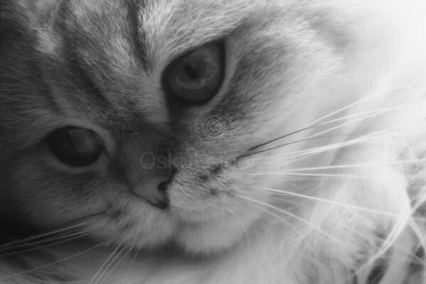 Thoughtful Softness I (Cat)